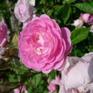 Růže damašská (Rosa damascena)
