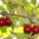 Dřín obecný (Cornus mas), plod