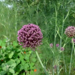 Pór letní (Allium ampeloprasum)